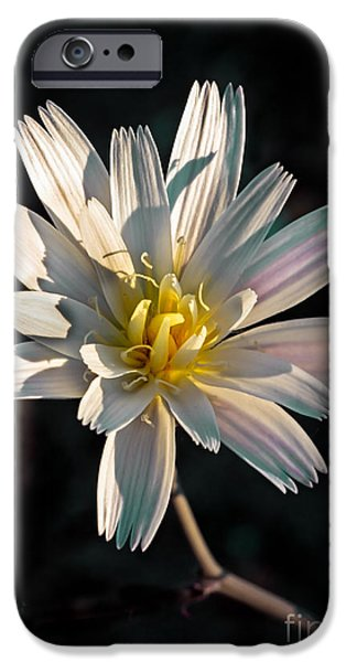 Haybale iPhone Cases - Desert Chicory iPhone Case by Robert Bales