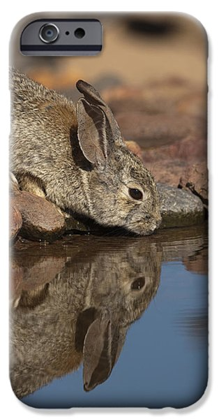 States iPhone Cases - Desert Cottontail Drinking Santa Rita iPhone Case by Tom Vezo
