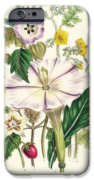 Botanical Drawings iPhone Cases - Devils Trumpet iPhone Case by Jane Loudon