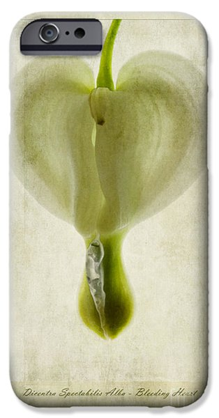 Bleeding Hearts iPhone Cases - Dicentra Spectabilis Alba iPhone Case by John Edwards