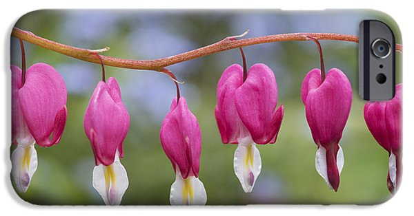 Bleeding Hearts iPhone Cases - Dicentra Spectabilis Bleeding Heart Flowers iPhone Case by Tim Gainey