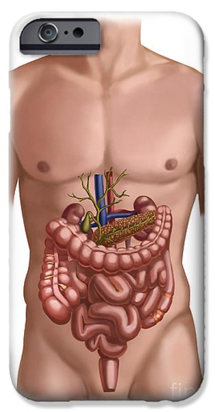 Sigmoid Colon iPhone Cases - Digestive And Renal Systems iPhone Case by Spencer Sutton