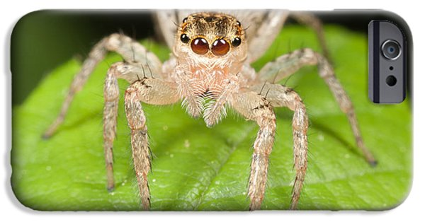 Jumping Spiders iPhone Cases - Dimorphic Jumper II iPhone Case by Clarence Holmes