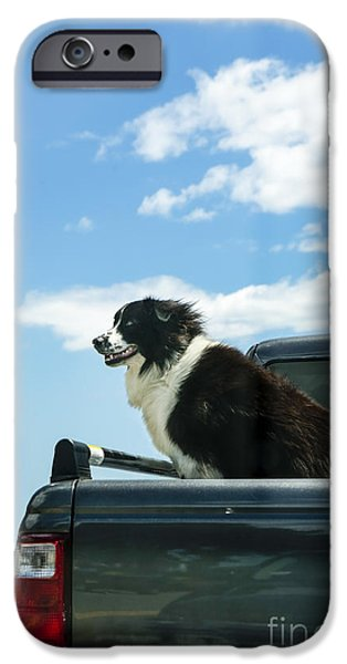 One Animal iPhone Cases - Dogs Love Trucks iPhone Case by Diane Diederich