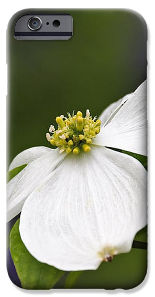 Dogwood Blossom - D001797 iPhone Case by Daniel Dempster