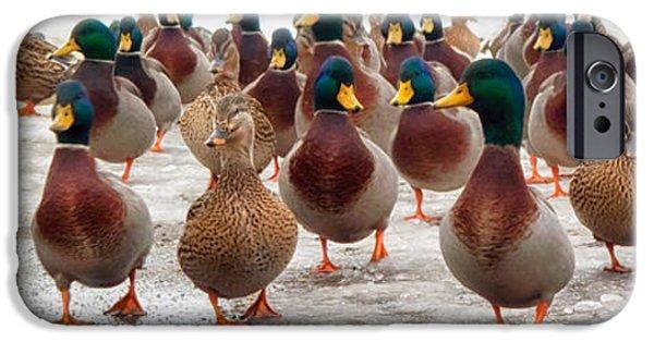 Ducks iPhone Cases - DuckOrama iPhone Case by Bob Orsillo