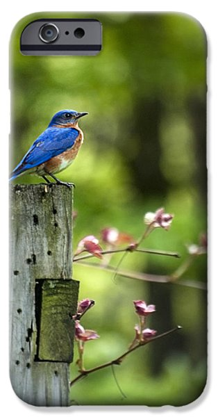 Wild Animals iPhone Cases - Eastern Bluebird iPhone Case by Christina Rollo