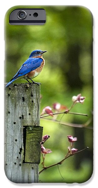 Animals Photographs iPhone Cases - Eastern Bluebird iPhone Case by Christina Rollo