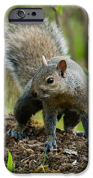 Eastern Gray Squirrel iPhone Case by Linda Freshwaters Arndt