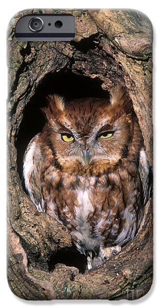 Eastern Screech Owl - FS000810 iPhone Case by Daniel Dempster