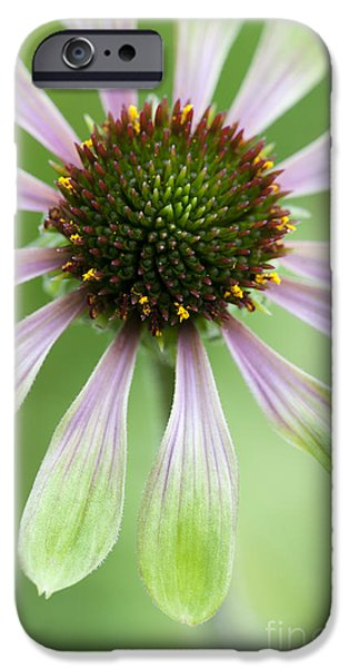 Echinacea iPhone Cases - Echinacea Green Envy Flower iPhone Case by Tim Gainey