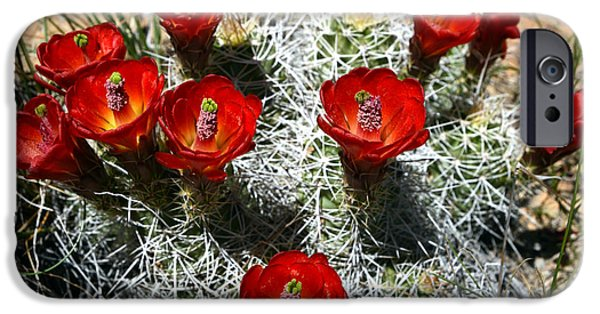 Mounds iPhone Cases - Echinocereus Triglochidiatus Hedgehog Cactus iPhone Case by Gary Whitton