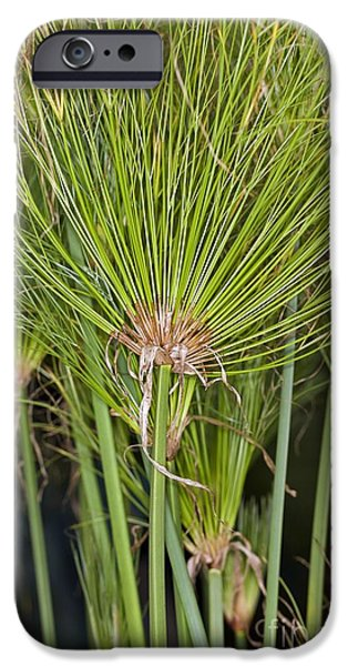 Papyrus iPhone Cases - Egyptian Paper Rush (cyperus Papyrus) iPhone Case by Dr Keith Wheeler