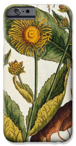 Petals Drawings iPhone Cases - Elecampane iPhone Case by Elizabeth Blackwell