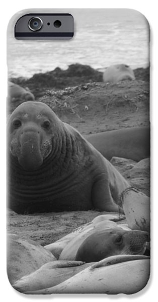 Ano Nuevo iPhone Cases - Elephant Seal Bull iPhone Case by Gwendolyn Barnhart