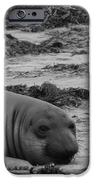 Ano Nuevo iPhone Cases - Elephant Seal Conteplation iPhone Case by Gwendolyn Barnhart