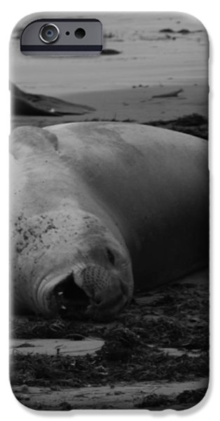 Elephant Seal Laughter iPhone Case by Gwendolyn Barnhart