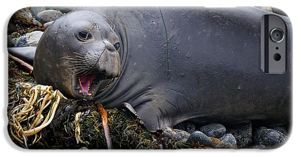 Ano Nuevo iPhone Cases - Elephant Seal of Ano Nuevo State Reserve iPhone Case by Priscilla Burgers