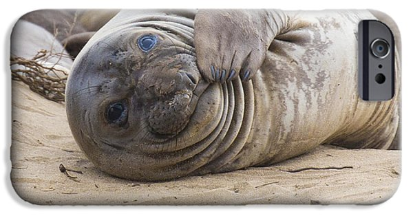Ano Nuevo iPhone Cases - Elephant Seal Pup iPhone Case by Curt Lerner