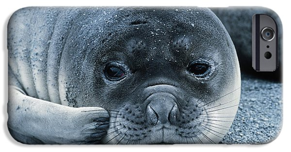 Ocean Mammals iPhone Cases - Elephant Seal Pup iPhone Case by Gregory G. Dimijian, M.D.