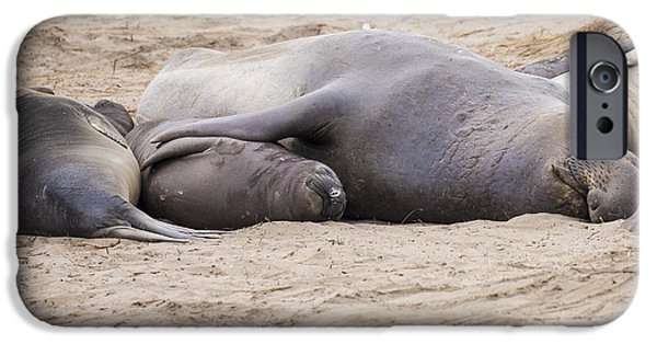 Ano Nuevo iPhone Cases - Elephant Seals iPhone Case by Curt Lerner
