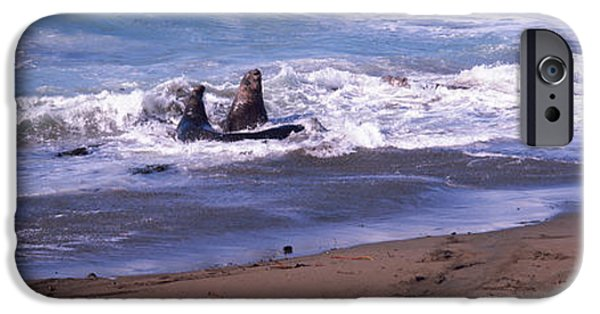 Two Waves iPhone Cases - Elephant Seals In The Sea, San Luis iPhone Case by Panoramic Images