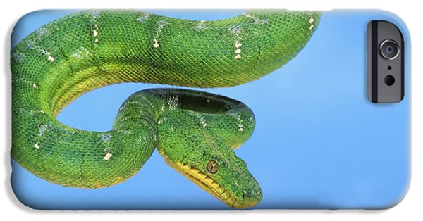 Boa Constrictor iPhone Cases - Emerald Tree Boa Corallus Caninus iPhone Case by Thomas Kitchin & Victoria Hurst