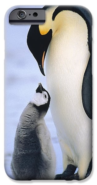 Begging iPhone Cases - Emperor Penguin Adult With Chick iPhone Case by Konrad Wothe