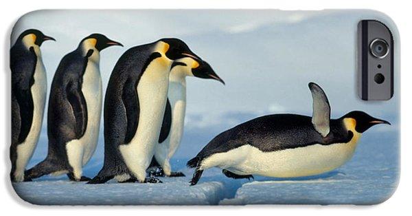 Recently Sold -  - Fauna iPhone Cases - Emperor Penguin Aptenodytes Forsteri iPhone Case by Hans Reinhard