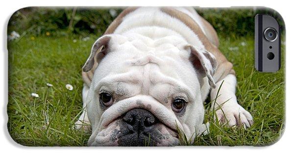 Dog Close-up iPhone Cases - English Bulldog iPhone Case by John Daniels