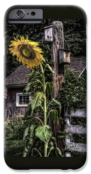 Buttonwood Farm iPhone Cases - Sunflower Country iPhone Case by Thomas Schoeller