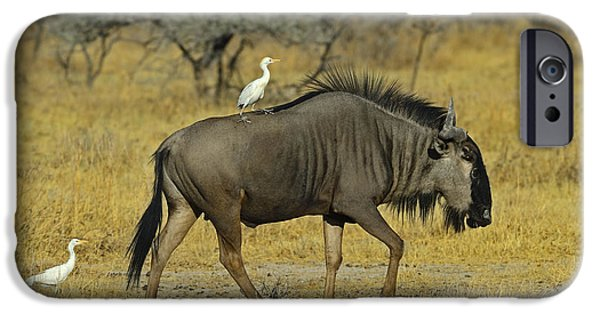 Cattle Egret iPhone Cases - Etosha Taxi Service iPhone Case by Tony Beck