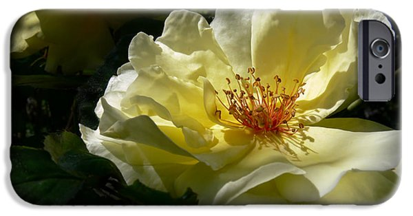 Green Roses iPhone Cases - Evening Glow Yellow Rose iPhone Case by Jennie Marie Schell
