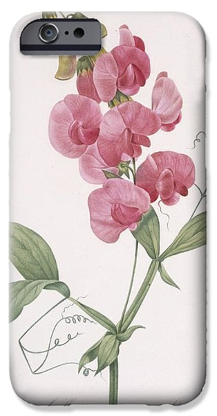 In Bloom Paintings iPhone Cases - Everlasting Pea iPhone Case by Pierre Joseph Redoute