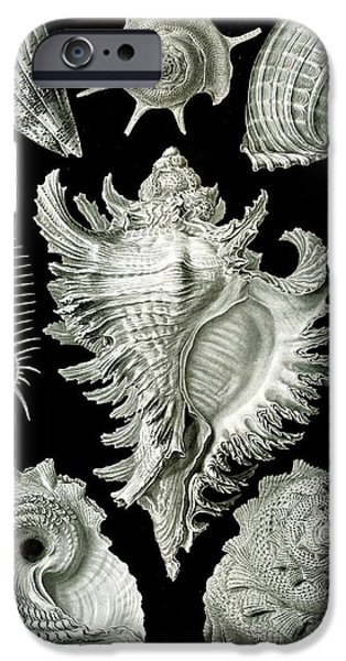 Animal Drawings iPhone Cases - Examples of Prosranchia iPhone Case by Ernst Haeckel