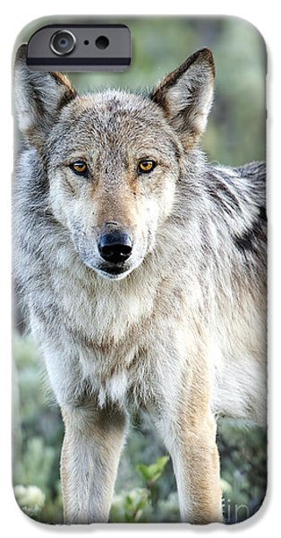 Dixon iPhone Cases - Eye Contact with a Gray Wolf iPhone Case by Deby Dixon