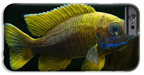 Fresh Water Fish iPhone Cases - Fairy Cichlid iPhone Case by Frank Teigler