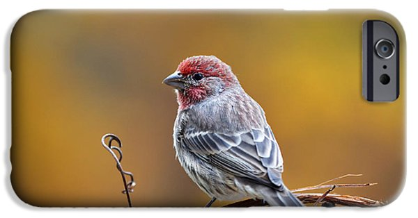Finch iPhone Cases - Fall Finch iPhone Case by Christina Rollo