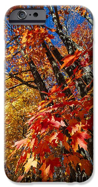 Fiery iPhone Cases - Fall maple forest iPhone Case by Elena Elisseeva