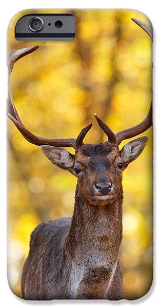 Wild Animals iPhone Cases - FAllow Deer in Autmn Forest II iPhone Case by Roeselien Raimond