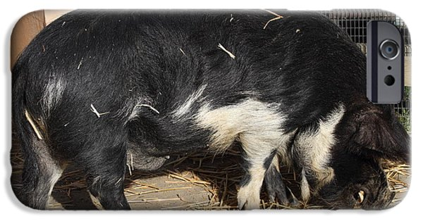 Charlotte iPhone Cases - Farm Pig 7D27344 iPhone Case by Wingsdomain Art and Photography