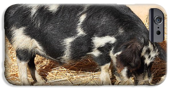 Charlotte iPhone Cases - Farm Pig 7D27356 iPhone Case by Wingsdomain Art and Photography