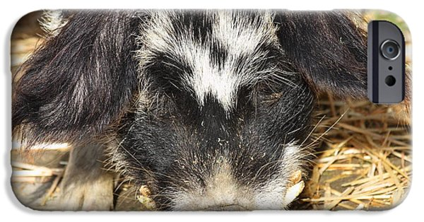 Charlotte iPhone Cases - Farm Pig 7D27361 iPhone Case by Wingsdomain Art and Photography