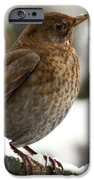 Wintertime iPhone Cases - Female Blackbird In The Snow iPhone Case by Terri  Waters