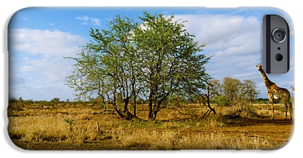 Animals Photographs iPhone Cases - Female Giraffe With Its Calf iPhone Case by Panoramic Images
