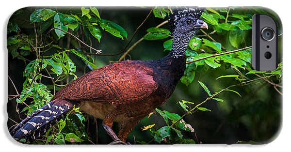 Birds iPhone Cases - Female Great Curassow Crax Rubra iPhone Case by Panoramic Images