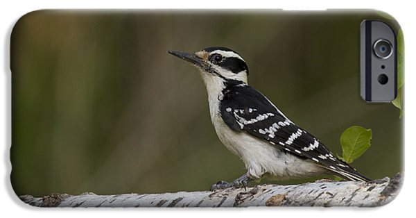 Hairy Woodpecker iPhone Cases - Female Hairy Woodpecker iPhone Case by Linda Freshwaters Arndt