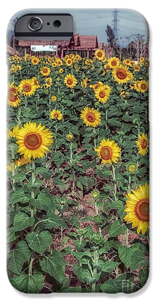 Stamen Digital iPhone Cases - Field of Sunflowers iPhone Case by Adrian Evans
