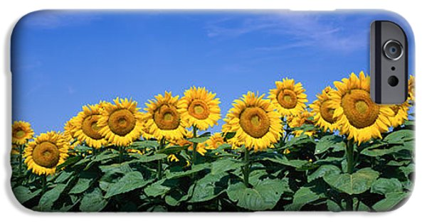Sunflower Field iPhone Cases - Field Of Sunflowers, Bogue, Kansas, Usa iPhone Case by Panoramic Images