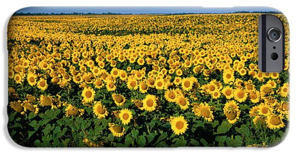 Sunflower Field iPhone Cases - Field Of Sunflowers Nd Usa iPhone Case by Panoramic Images